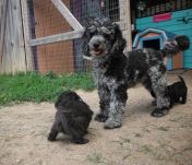 YorkiPoo puppies for sale Yorkshire terrier mix breed mini poodle OH breeder