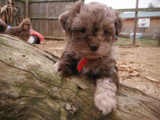 Chocolate merle teacup yorkipoo puppies for sale breeder ohio