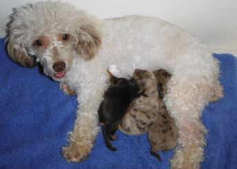 Chocolate merle teacup yorkipoo puppies for sale breeder