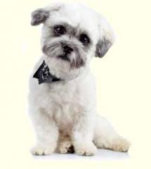 breed_havanesemix-puppies-for-sale-pa-md-de_1327786287