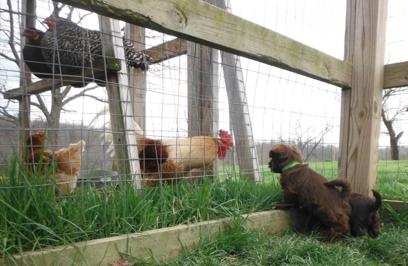 Rooster_Pups