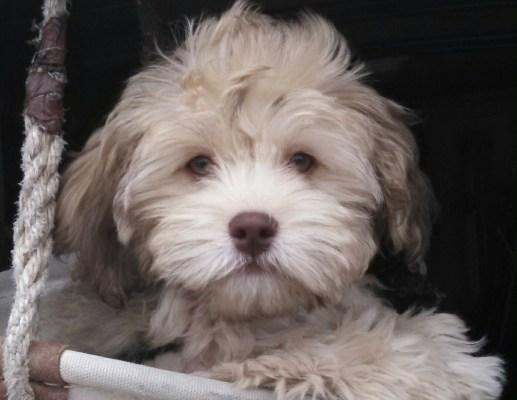 Shih Tzu Short Haircut  animals  Pinterest  Short