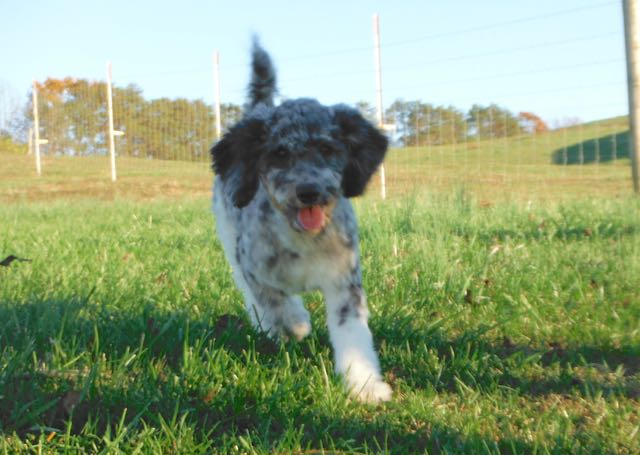Moyen / KleinBlue Merle Tuxedo Poodle - Havanese Poodle HavaPoo HavaNoodle Puppies for Sale