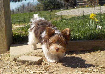 "Lhasa Apso / Havanese / Yorkie ""Sunshine"" Puppies for sale"