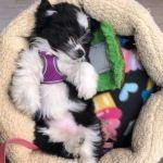 Mini Havanese Poodle mix puppy for sale