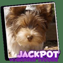 Our Registered Yorkshire Terrier Jackpot
