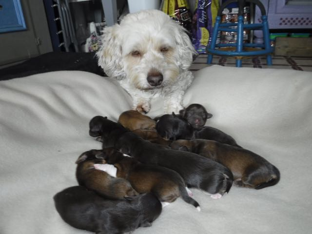 Lily & her 10 Sunshine Puppies