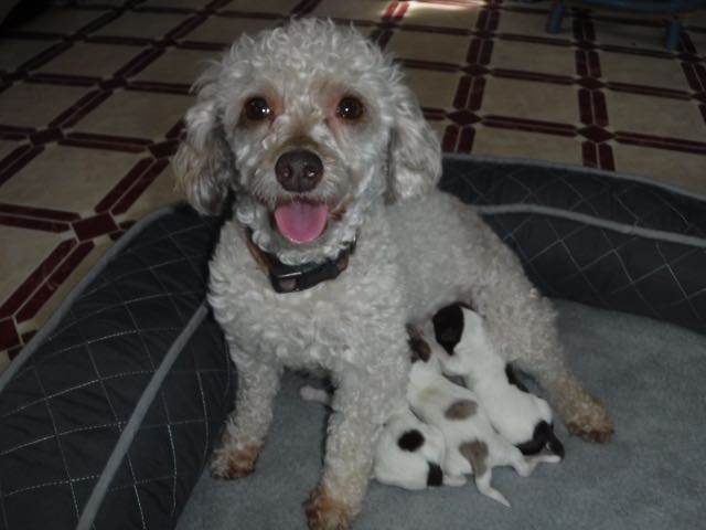 Dixie Chick & Her YorkiPoo Puppies
