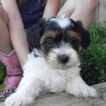 YorkiPoo puppy for sale