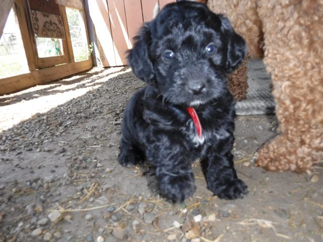 YorkiPoo Puppies for sale