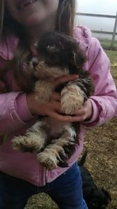 One of our previous YorkiPoo Puppies