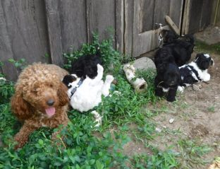 YorkiPoo Puppies Playing