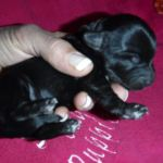 Available Tri-Color YorkiPoo Puppies
