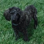 Mini Toy YorkiPoo Yorkie/Poodle Puppies for sale