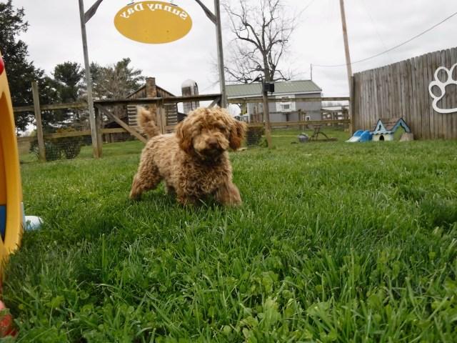 Mini Poodle Sunny Girl
