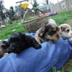 HavaPoo Puppies Playing