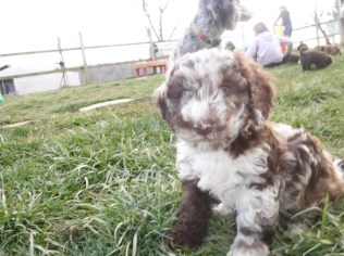 Havanese Poodle Mix HavaPoo Breeder Puppies for Sale
