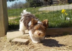 """SIRE- Yorkshire Terrier """"JackPot"""""""