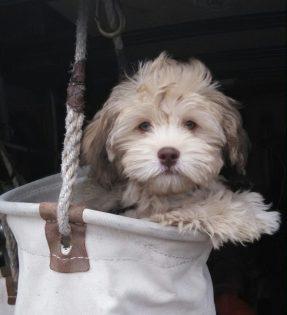 HavaPoo (Havanese/Poodle) Breeder HavaNoodle