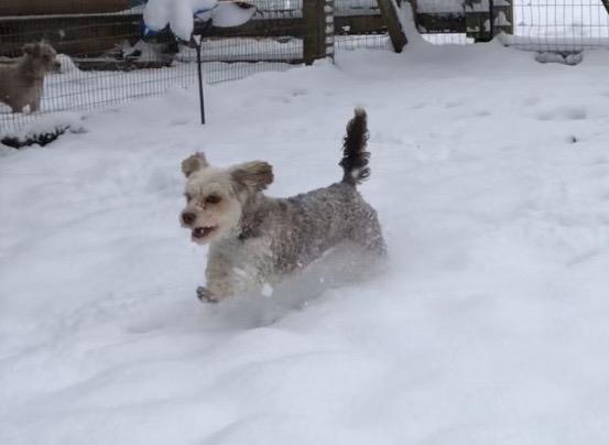 Havanese Yorkshire terrier Lhasa Apso puppies for sale breeder