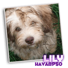 Havanese Yorkshire terrier Lhasa Apso puppies for sale breeder