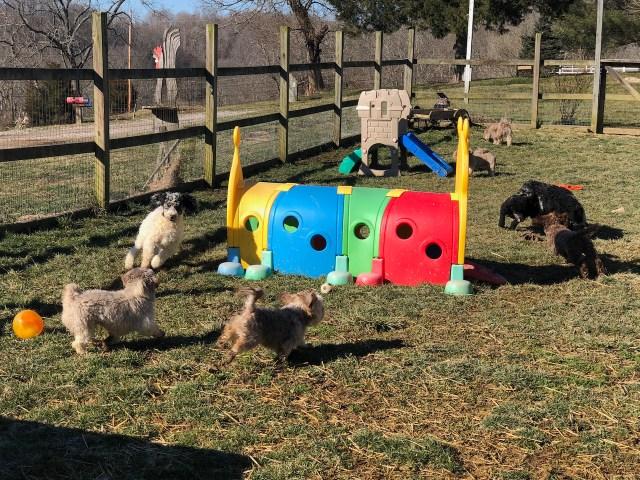 Moyen Poodle HavaPoo HavaNoodle puppies for sale
