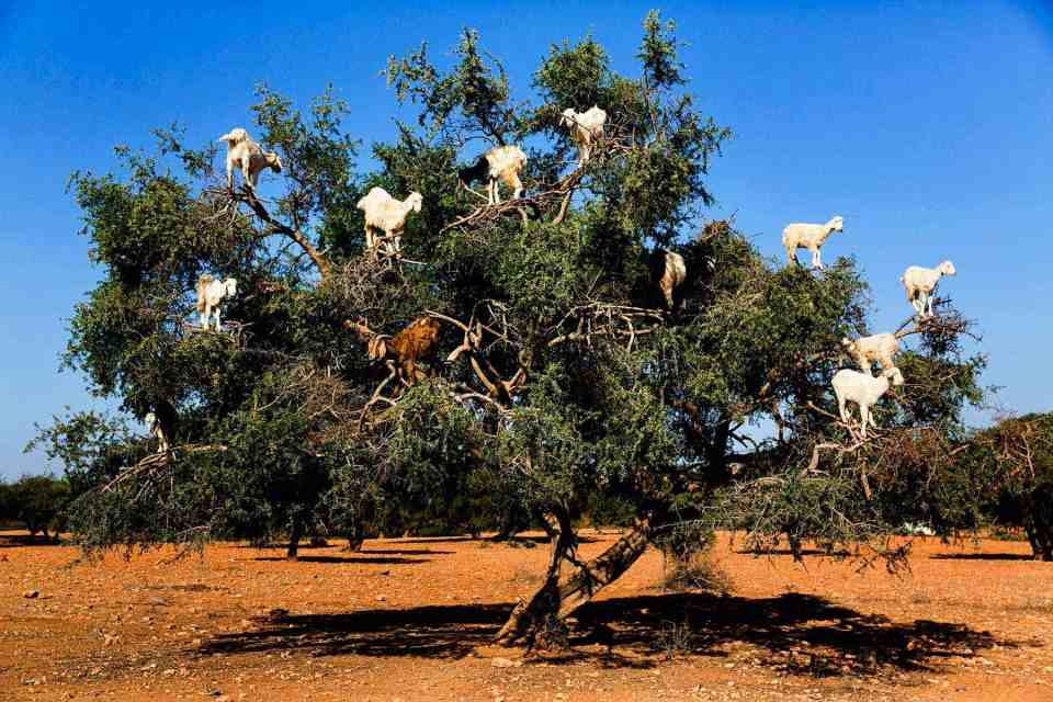 Goats on the tree Essaouira