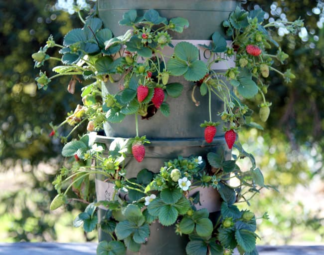 DIY Strawberry Containers and Towers