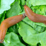 How to Get Rid of Slugs – Naturally!