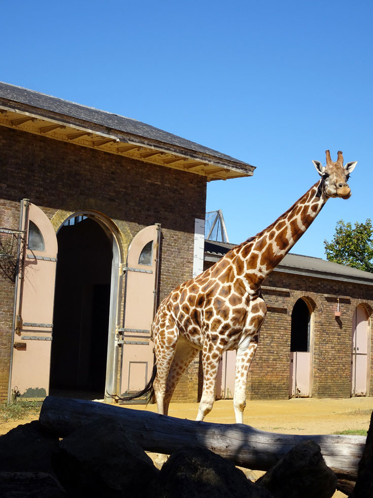 Visiting London Zoo tips to save money- giraffes
