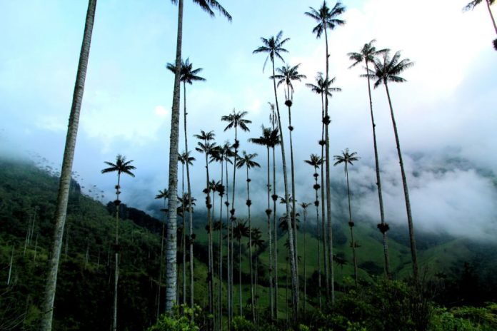 Valle de Cocora with wax palms