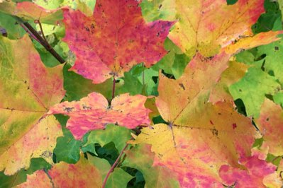 fall-maple-glory