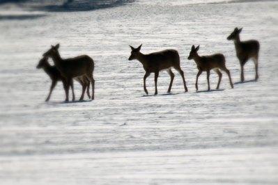 herd-of-deer