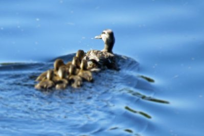 mallard-duck-and-ducklings