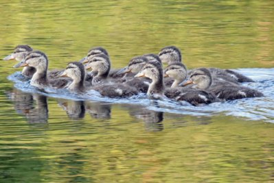 mallard-ducklings