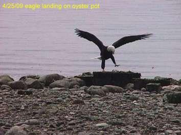 manaco-eagles-1