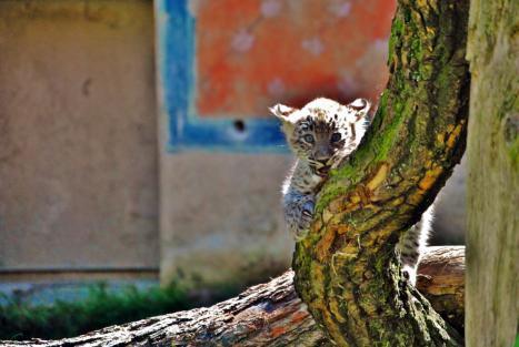 Fotografieren im Zoo: Kleiner Leopard im Zoo Hannover