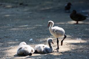 Fotografieren im Zoo: Flamingobabys im Zoo Hannover
