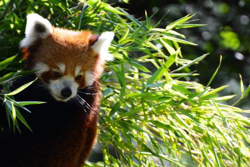 Zoofotografie: Roter Panda im Zoo Hannover