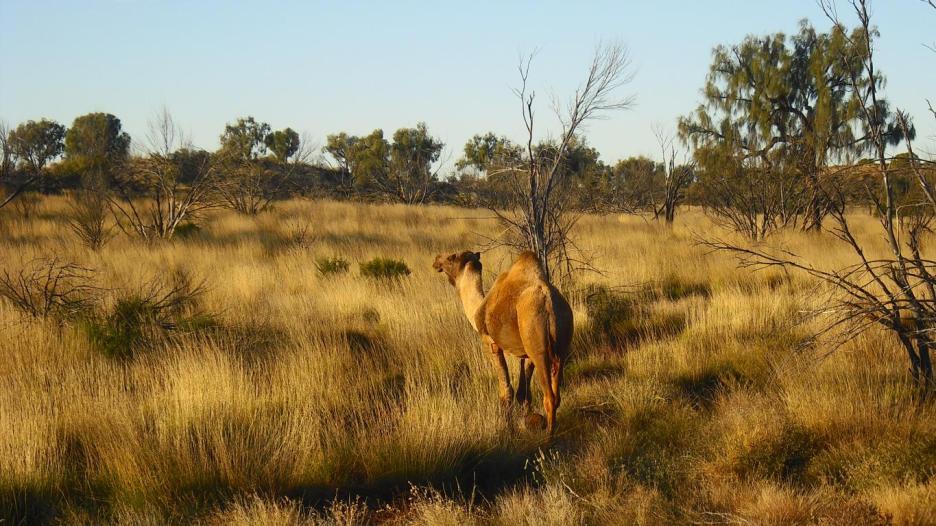 Roadtrip Australien Outback Kamel