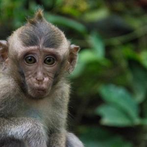 Monkey Forest Ubud Affenwald kleiner Affe