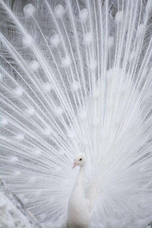 wien tipps: weißer pfau tiergarten schönbrunn