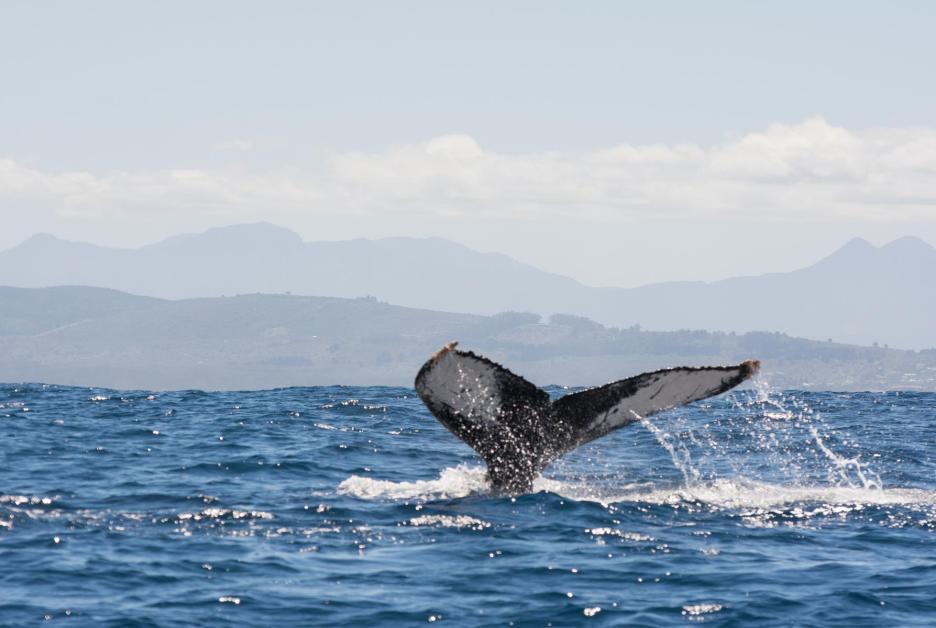 Garden Route Südafrika Sehenswürdigkeiten Tipps Highlights Whale Watching Knynsa
