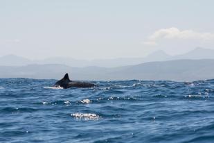 Garden Route Südafrika Sehenswürdigkeiten Tipps Highlights Buckelwal vor der Küste von Knysna