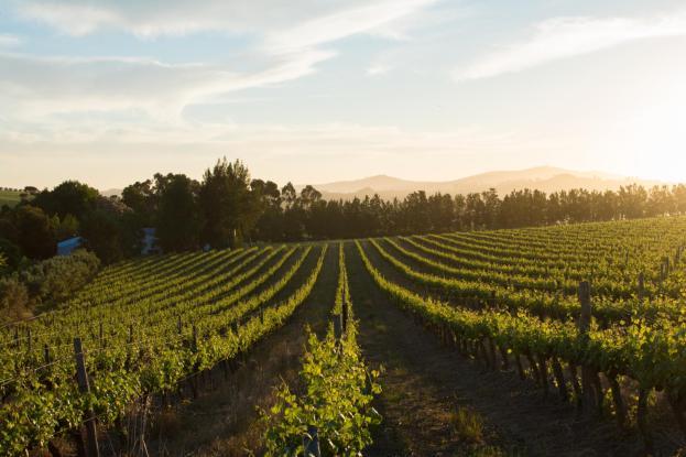 Vineyards Remhoogte Wine Estate Stellenbosch