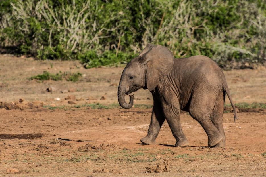 Addo Elephant Nationalpark Babyelefant