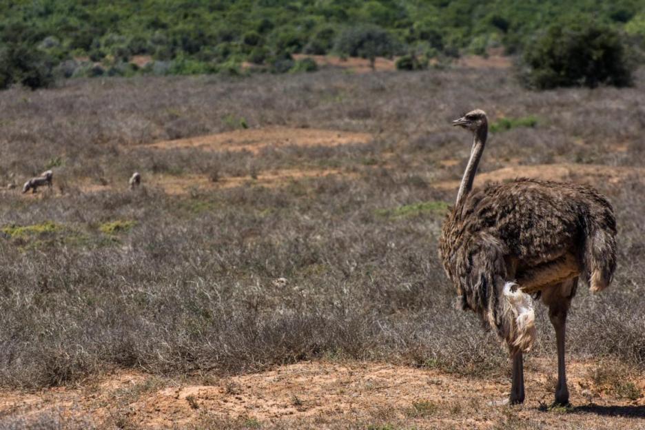 Elefantenpark Strauss Südafrika