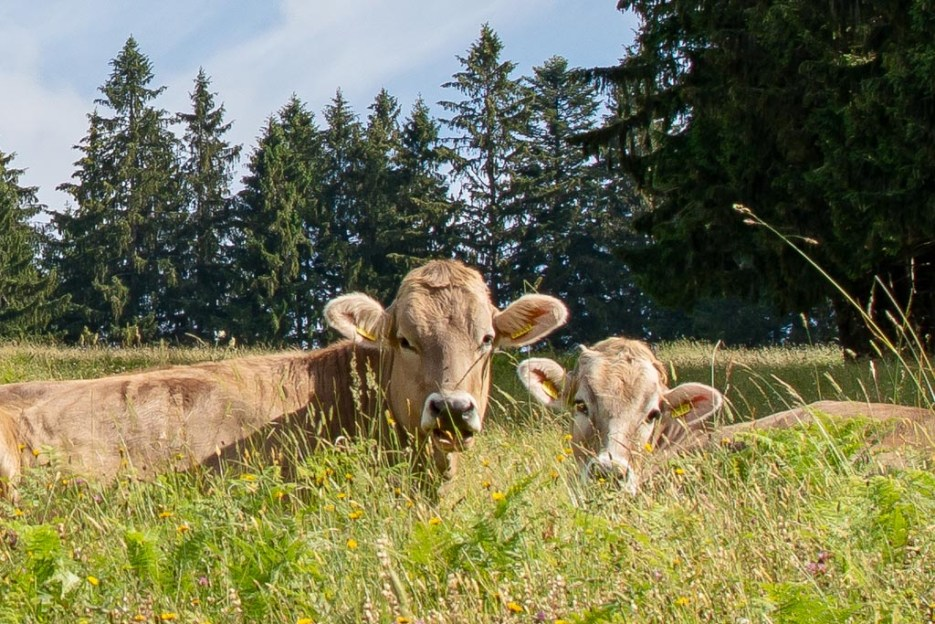 urlaub im allgäu kühe