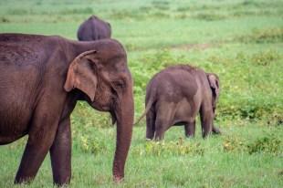 kaudulla safari elefanten