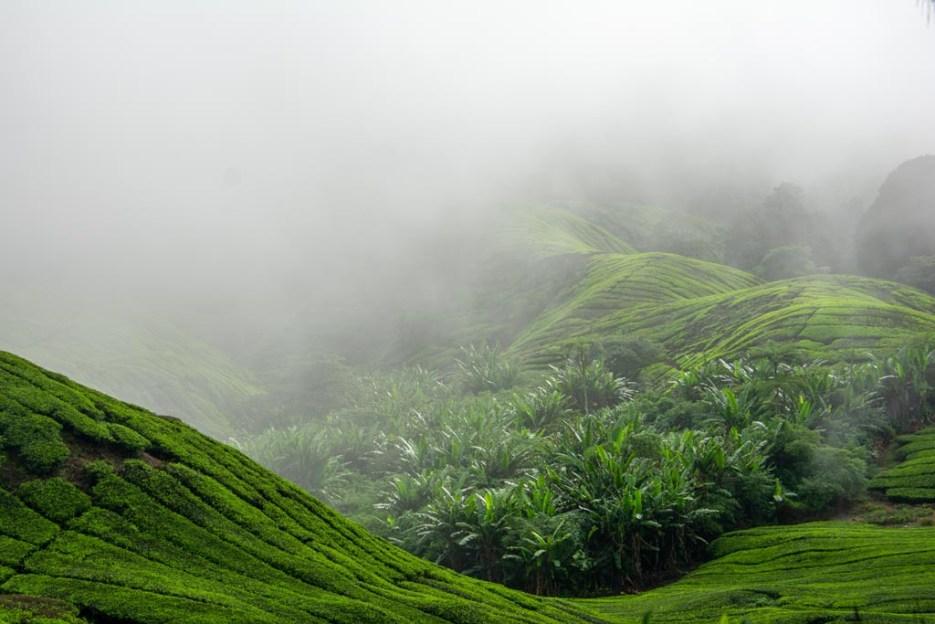 cameron highlands malaysia boh tee